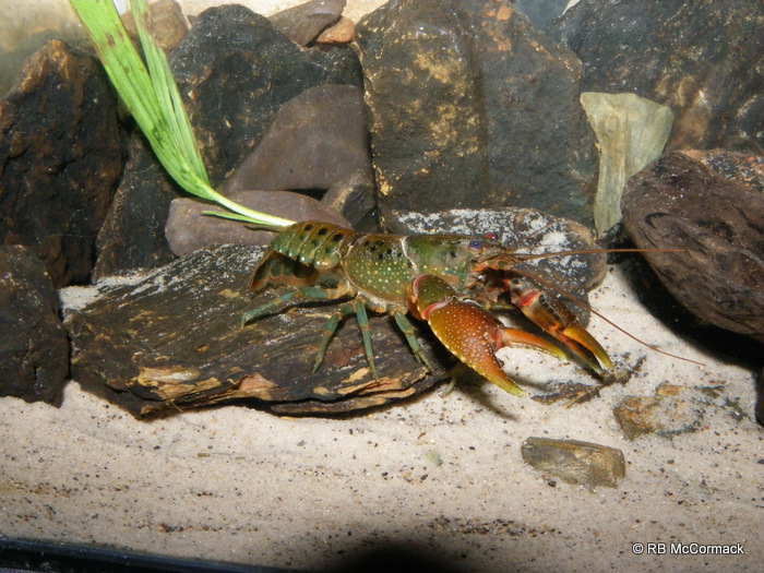 The small spiny crayfish Euastacus dangadi from the Coffs Harbour region