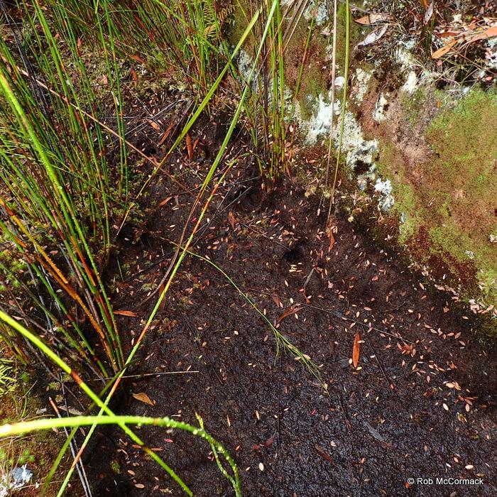Ombrastacoides leptomerus burrows
