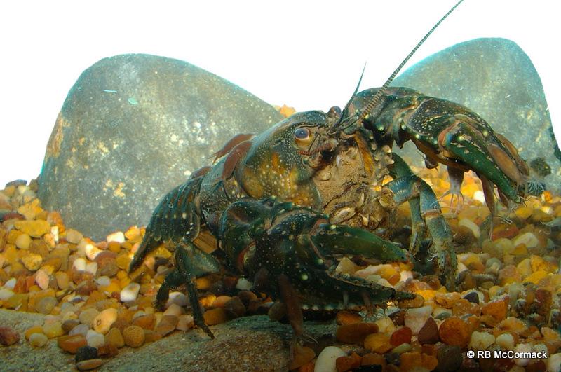 Riek's Crayfish Euastacus rieki