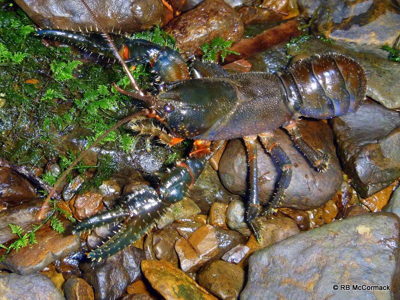 Embezee's Crayfish Euastacus binzayedi