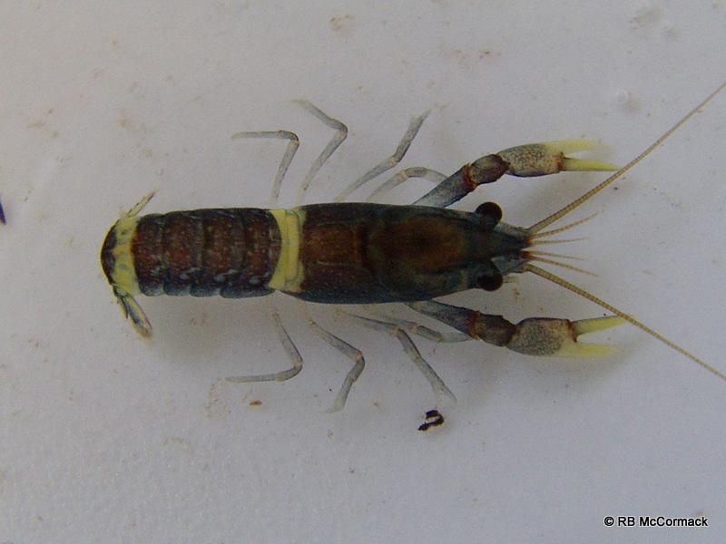 Juvenile Euastacus sulcatus