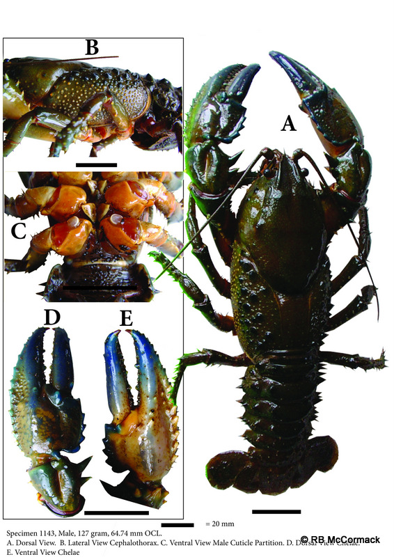 The Cudgegong Giant Spiny Crayfish Euastacus vesper